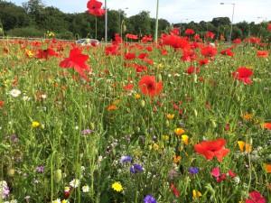 Chorley wild flowers